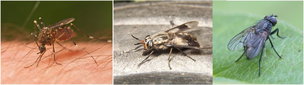Images of A mosquito, black fly and deer fly